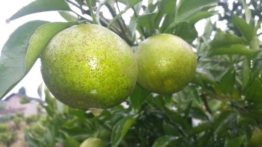 柑橘沙皮病你重视了吗?