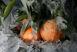柑橘冻害预防与补救方案