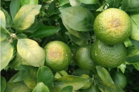 柑橘炭疽病危害症状及防治方案