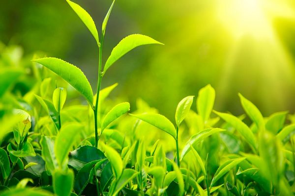 ppt 背景 壁纸 成片种植 电脑桌面 发芽 风景 绿色 绿色植物 绿叶